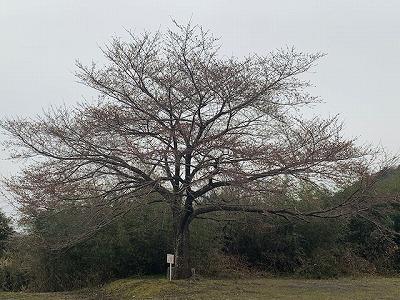 真正寺 桜情報